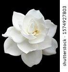 Gardenia Flower Isolated On...