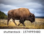 American bison walking and...