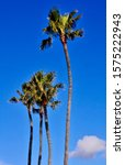 Elegant Palm Trees With A Deep...