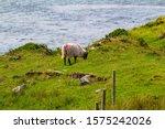 Scottish Blackface Sheep...