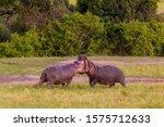 Hippopotamus  Two Adults...