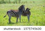 Interaction Between Two Zebras. ...
