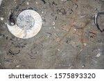 Petrified Fossil Ammonite Shell ...