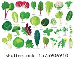 vegetable lettuce cartoon... | Shutterstock .eps vector #1575906910