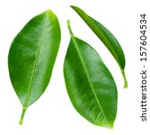 Citrus Leaves Isolated On A...