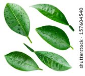 citrus leaves with drops... | Shutterstock . vector #157604540