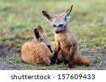 yong bat eared foxes early in... | Shutterstock . vector #157609433
