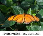 Orange Dryas Julia  Commonly...