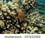 blacktip grouper with hook in... | Shutterstock . vector #157622303