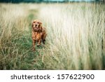 Stock photo red dog running in the grass 157622900