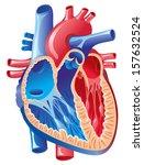 anatomy of the heart | Shutterstock .eps vector #157632524