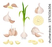 whole garlic and its parts...   Shutterstock .eps vector #1576336306