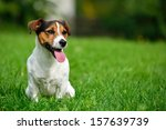Stock photo jack russell terrier in garden 157639739