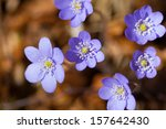 cluster of delicate pretty blue ... | Shutterstock . vector #157642430