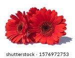 Red Gerbera Daisy Flowers On...