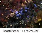 Berries Of Aromatic Cedar On...