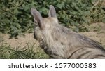 portrait of a spotted hyena in... | Shutterstock . vector #1577000383