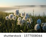 Flowering Cotton Grass In The...