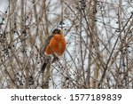 American Robin Perched In A...