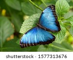 Bne Blue Morpho Butterfly From...