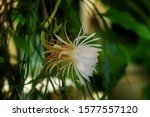 A White Blossom Of The Queen Of ...