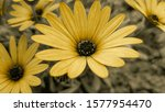 Closeup Of Yellow African...