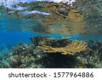 Elkhorn coral (Acropora palmata) underwater in the shallow caribbean sea of Bonaire
