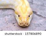 Albino Phyton Head Close Up