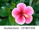 Macro Of China Rose Flower