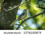 An Adult Mockingbird On A Tree...