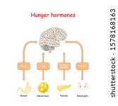 hunger hormones and appetite.... | Shutterstock .eps vector #1578168163