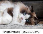 Cut Rag Doll Cat Inside A House