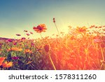Cosmos Flowers That Bloom In...