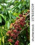 Coffee Beans Ripening  Fresh...
