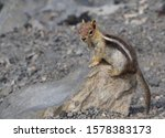 A Small Chipmunk Sits On A Roc...
