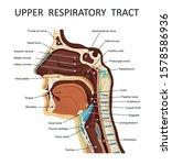 upper respiratory tract. ... | Shutterstock .eps vector #1578586936