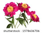 Three burgundy peonies with yellow center. Bouquet isolated on white