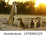 Meerkat  The Most Funny Animal. ...