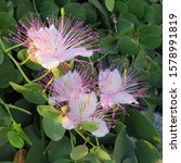 Small photo of Closeup. Blooming flowers of caper shrub (capparis spinosa). White flowers of caperous spiny. Capparis spinosa, the caper bush, also called Flinders rose. Exotic flowers.