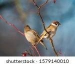 Sparrow. Sparrows Close Up....