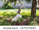 Deer Skull With Antler On The...