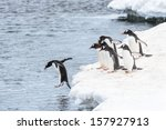 Stock photo one gentoo penguin jumps into the water and his friends watch him do it 157927913