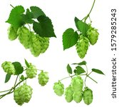 Small photo of Young branches of hops with leaves. Hops herb for medicinal herb or phytotherapy. isolated hops plant flower for herbal natural medicine. Hop Cones. Natural plants isolated. Plant botanical foliage