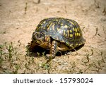 North American Box Turtle...