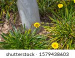 Bright Yellow Hardy Gazania...