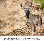 Large Buck On A Hillside