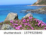 Hottentot Fig Flower Near To...
