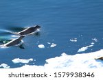 Leopard Seals Hunting In The...