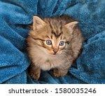 Cute  Fluffy   Main Coon Kitten ...