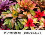 Close-up of multicolored bromeliad, colorful bromeliad leaves, green and red of tropical plants in a green house for garden decoration.